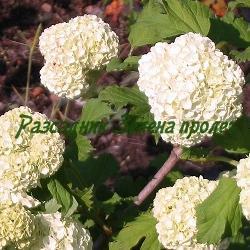 "Viburnum opulus - сорт Sterilis, ""Boulle de neige""  (Калина стерилна, Картоп), Caprifoliaceae"